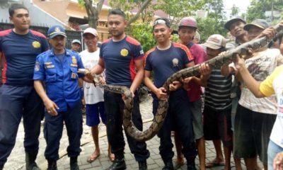 Ular Piton sepanjang 3,5 meter berhasil dievakuasi. (ist/ PMK Kota Malang)